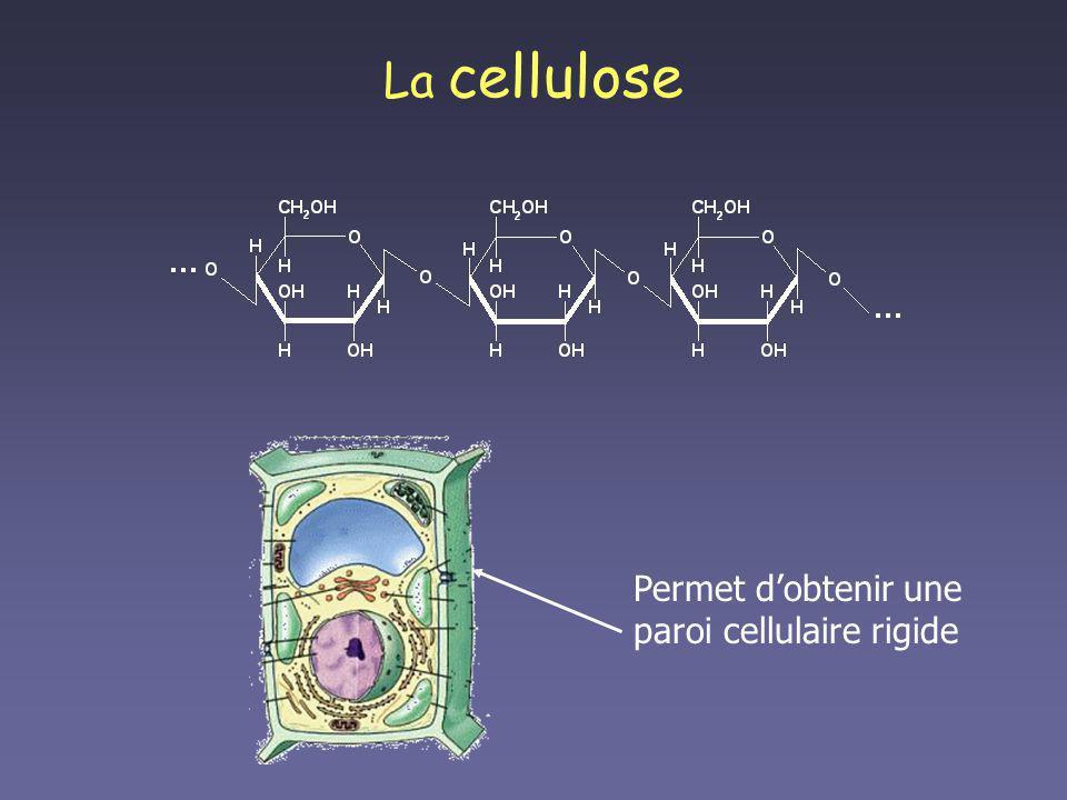 La cellulose Permet d'obtenir une paroi cellulaire rigide