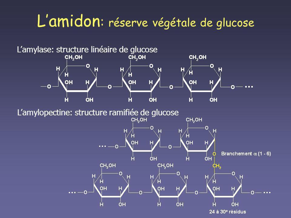 L'amidon: réserve végétale de glucose