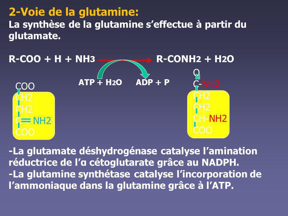 2-Voie de la glutamine: La synthèse de la glutamine s'effectue à partir du glutamate. R-COO + H + NH3 R-CONH2 + H2O.
