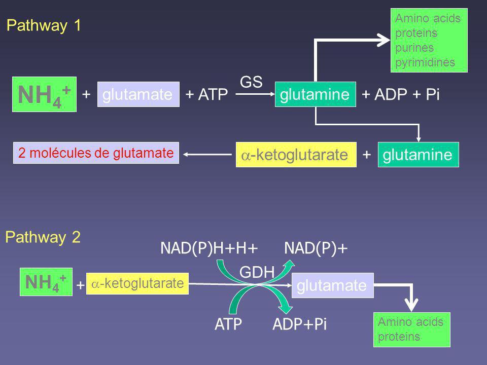 NH4+ NH4+ Pathway 1 GS + glutamate + ATP glutamine + ADP + Pi