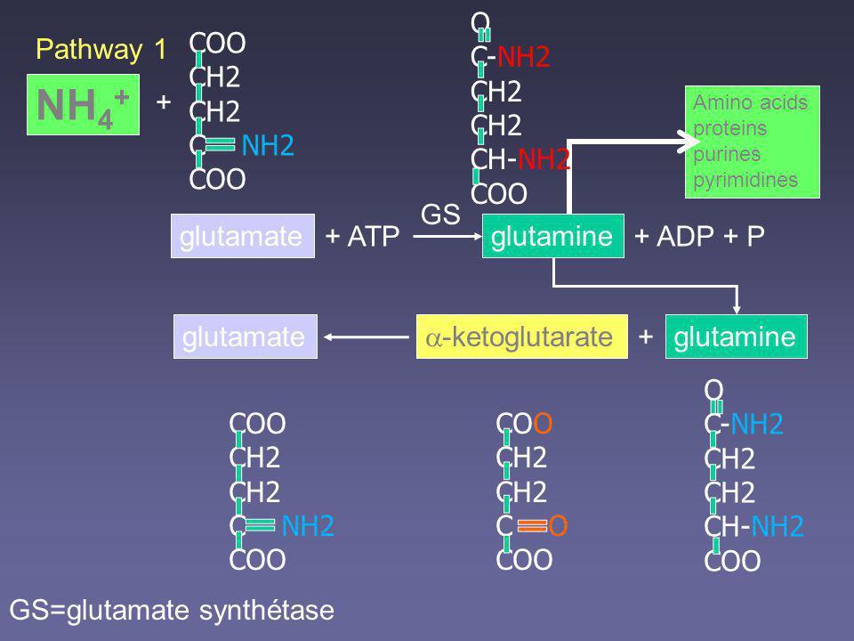 NH4+ O C-NH2 CH2 CH-NH2 COO COO CH2 C NH2 Pathway 1 + GS glutamate