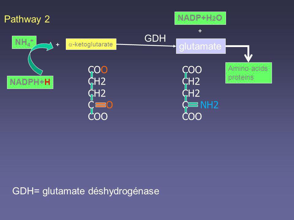GDH= glutamate déshydrogénase