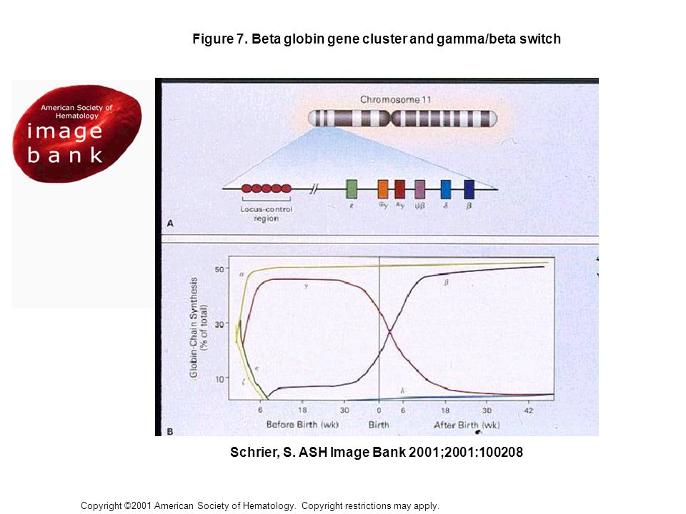 Figure 7. Beta globin gene cluster and gamma/beta switch
