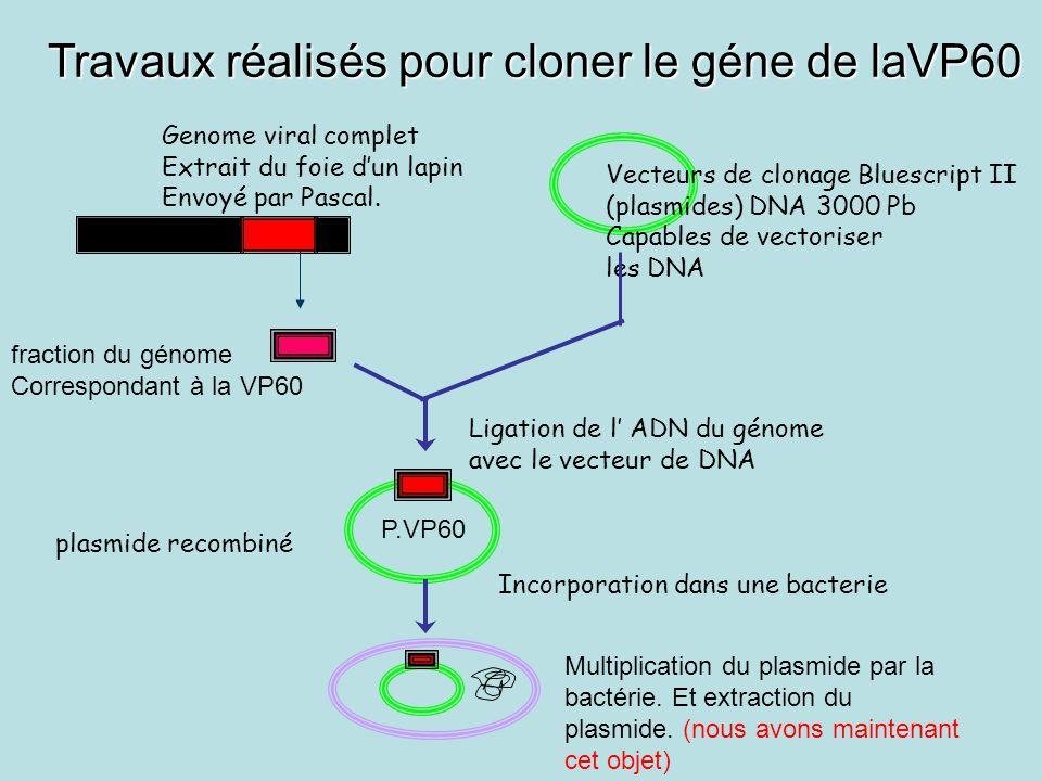 Travaux réalisés pour cloner le géne de laVP60