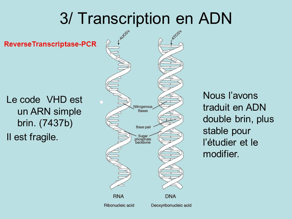 3/ Transcription en ADN Le code VHD est un ARN simple brin. (7437b)
