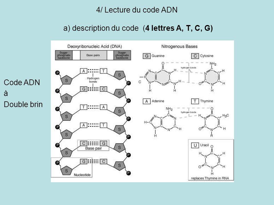 4/ Lecture du code ADN a) description du code (4 lettres A, T, C, G)
