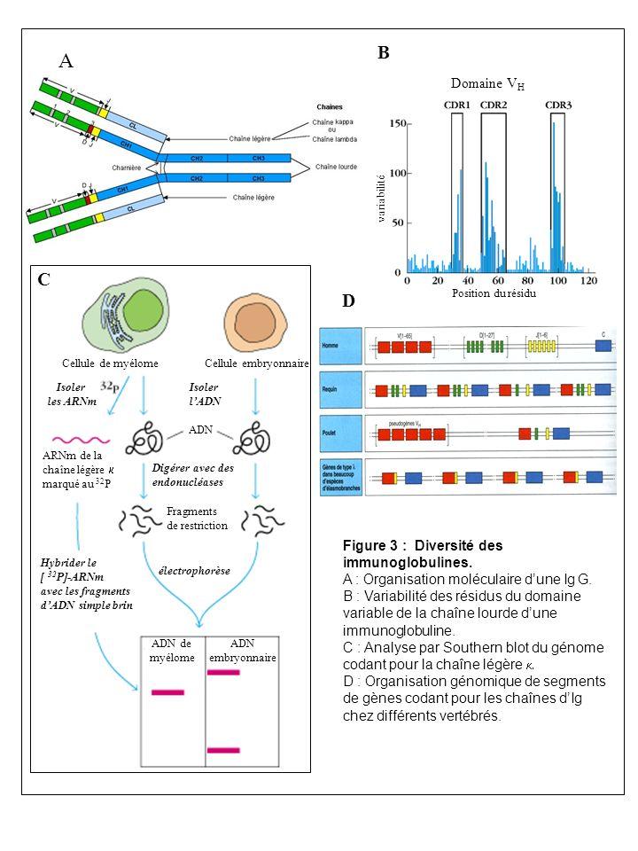 A B C D Domaine VH Figure 3 : Diversité des immunoglobulines.
