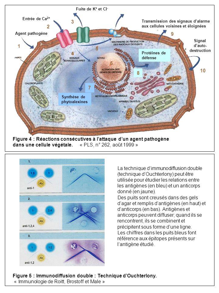 Figure 4 : Réactions consécutives à l'attaque d'un agent pathogène