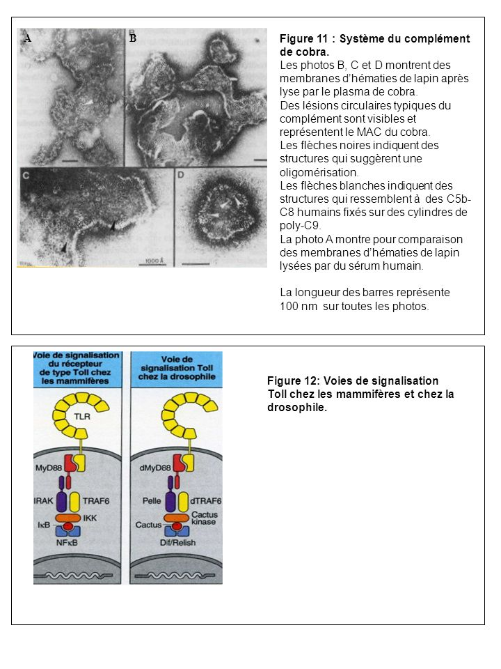 Figure 11 : Système du complément