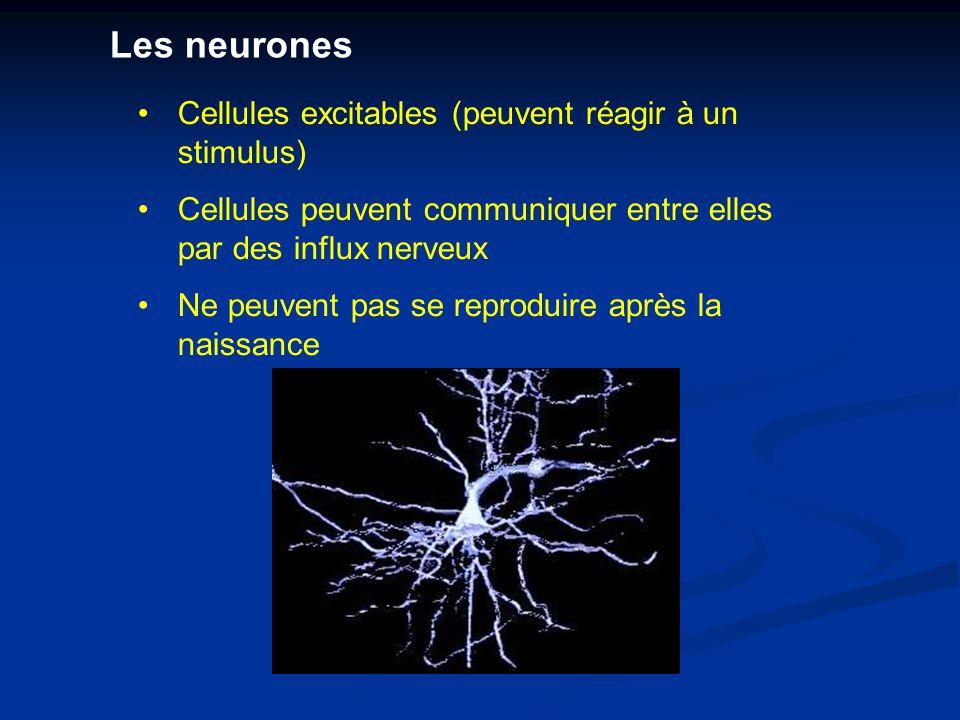 Les neurones Cellules excitables (peuvent réagir à un stimulus)