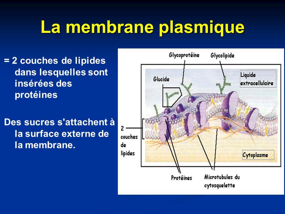 La membrane plasmique = 2 couches de lipides dans lesquelles sont insérées des protéines.