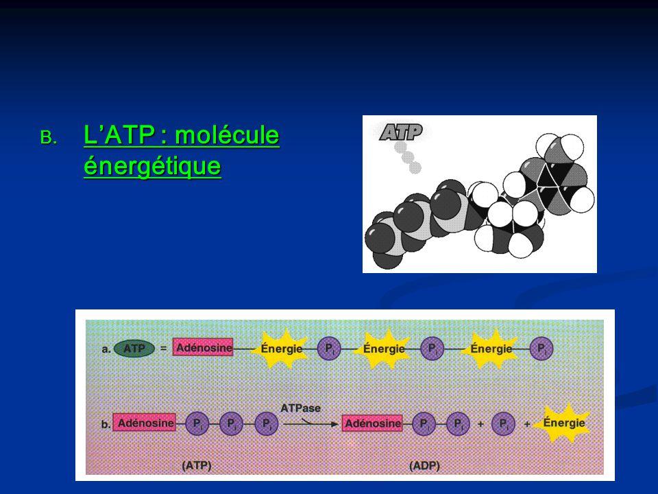L'ATP : molécule énergétique