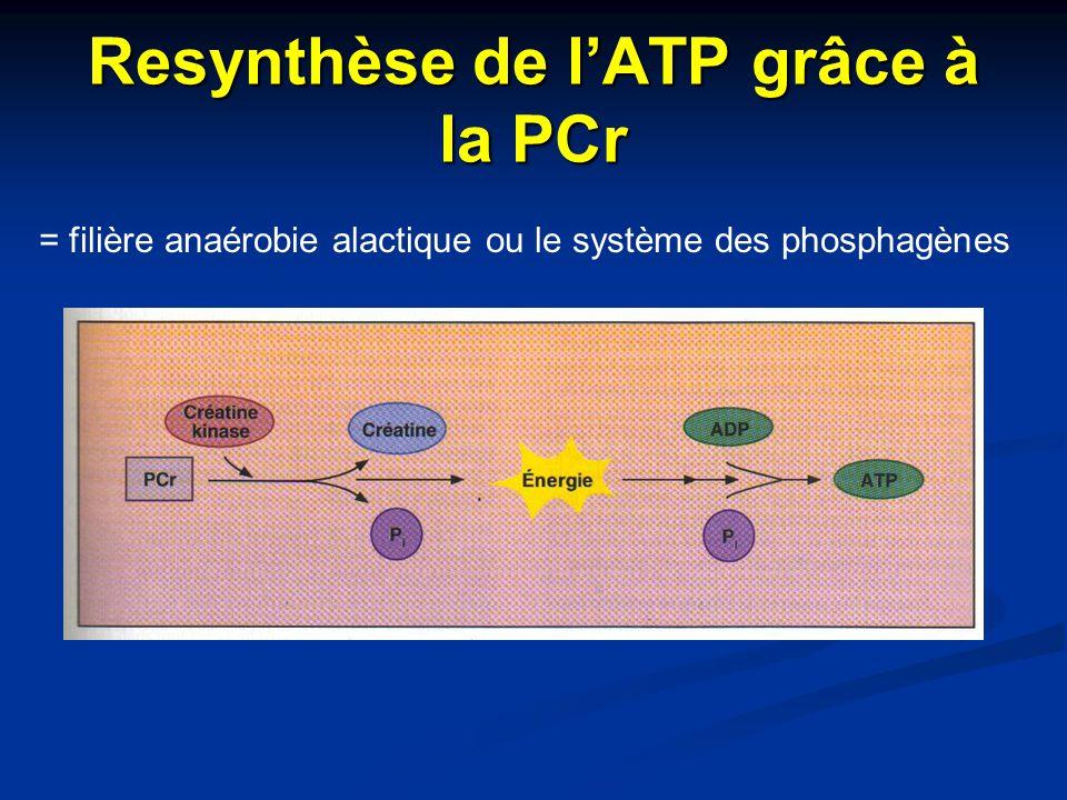 Resynthèse de l'ATP grâce à la PCr