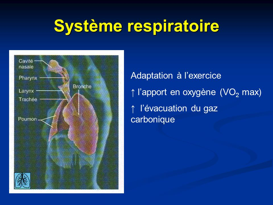 Système respiratoire Adaptation à l'exercice