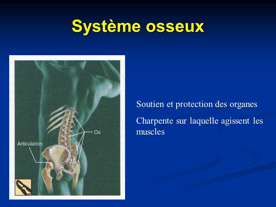 Système osseux Soutien et protection des organes