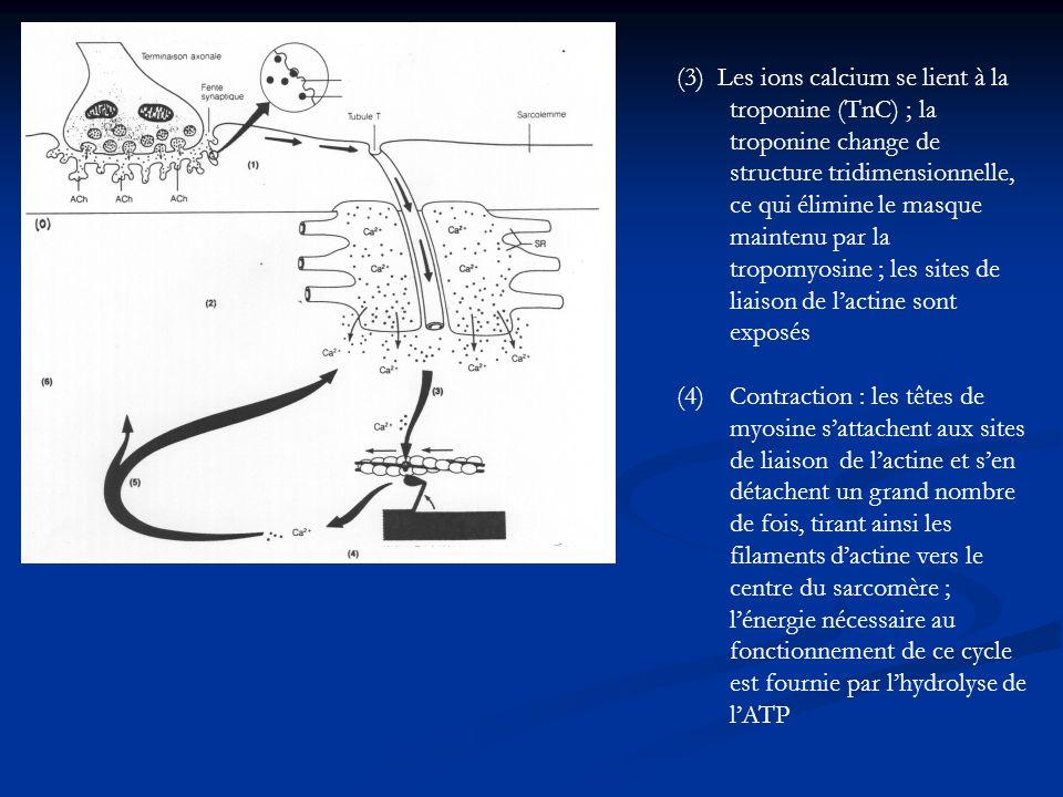 (3) Les ions calcium se lient à la troponine (TnC) ; la troponine change de structure tridimensionnelle, ce qui élimine le masque maintenu par la tropomyosine ; les sites de liaison de l'actine sont exposés