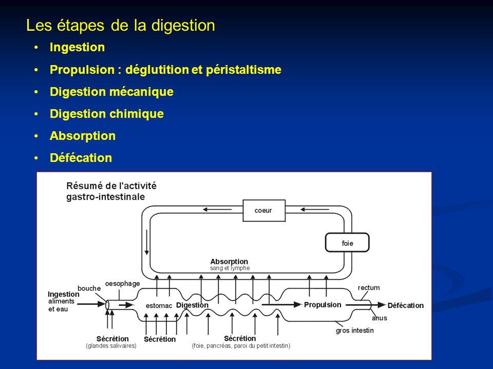 Les étapes de la digestion