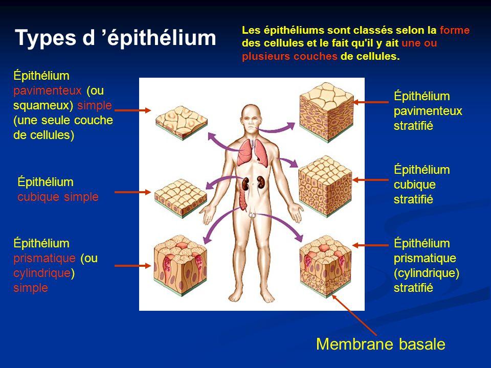 Types d 'épithélium Membrane basale