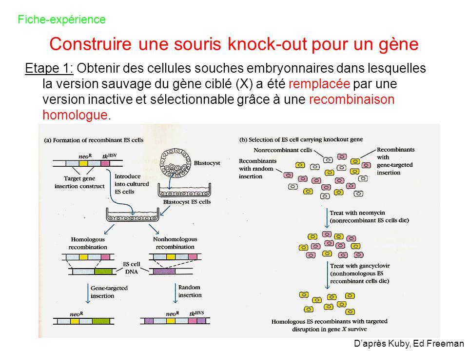 Construire une souris knock-out pour un gène