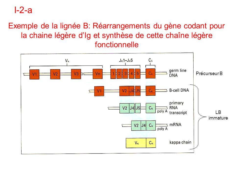 I-2-a Exemple de la lignée B: Réarrangements du gène codant pour la chaine légère d'Ig et synthèse de cette chaîne légère fonctionnelle.
