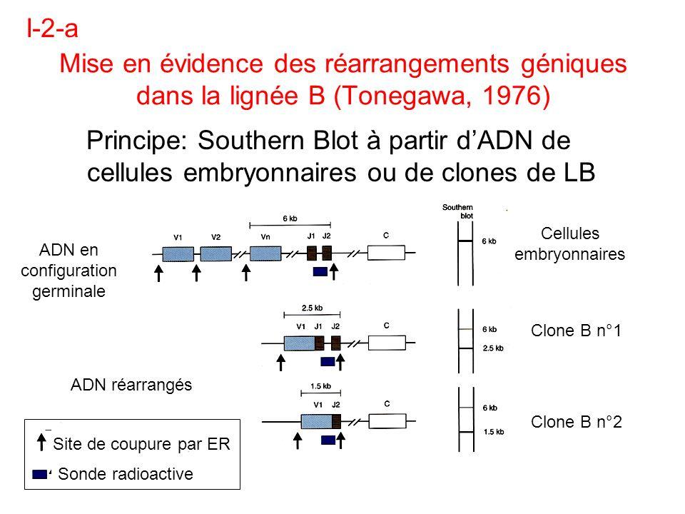 I-2-a Mise en évidence des réarrangements géniques dans la lignée B (Tonegawa, 1976)