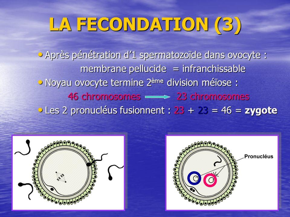 LA FECONDATION (3) Après pénétration d'1 spermatozoïde dans ovocyte :