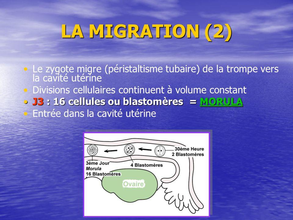 LA MIGRATION (2) Le zygote migre (péristaltisme tubaire) de la trompe vers la cavité utérine. Divisions cellulaires continuent à volume constant.