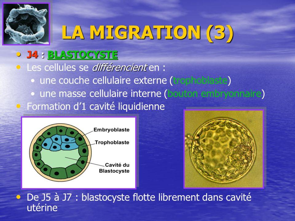 LA MIGRATION (3) J4 : BLASTOCYSTE Les cellules se différencient en :