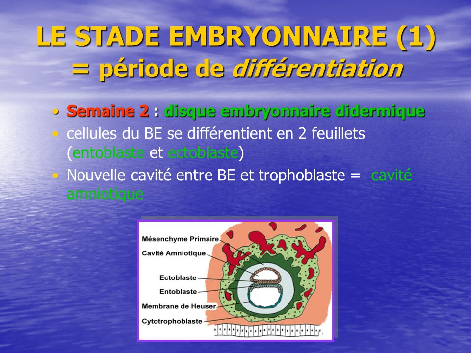 LE STADE EMBRYONNAIRE (1) = période de différentiation