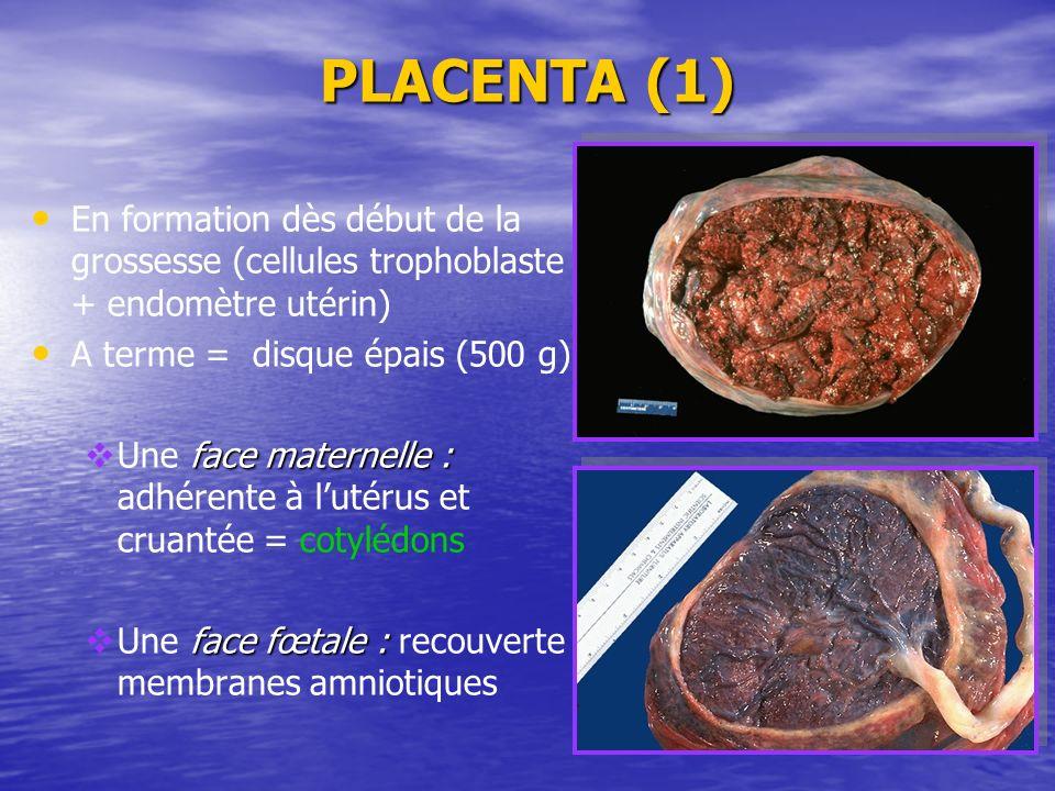PLACENTA (1) En formation dès début de la grossesse (cellules trophoblaste + endomètre utérin) A terme = disque épais (500 g)