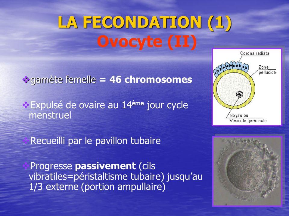 LA FECONDATION (1) Ovocyte (II)