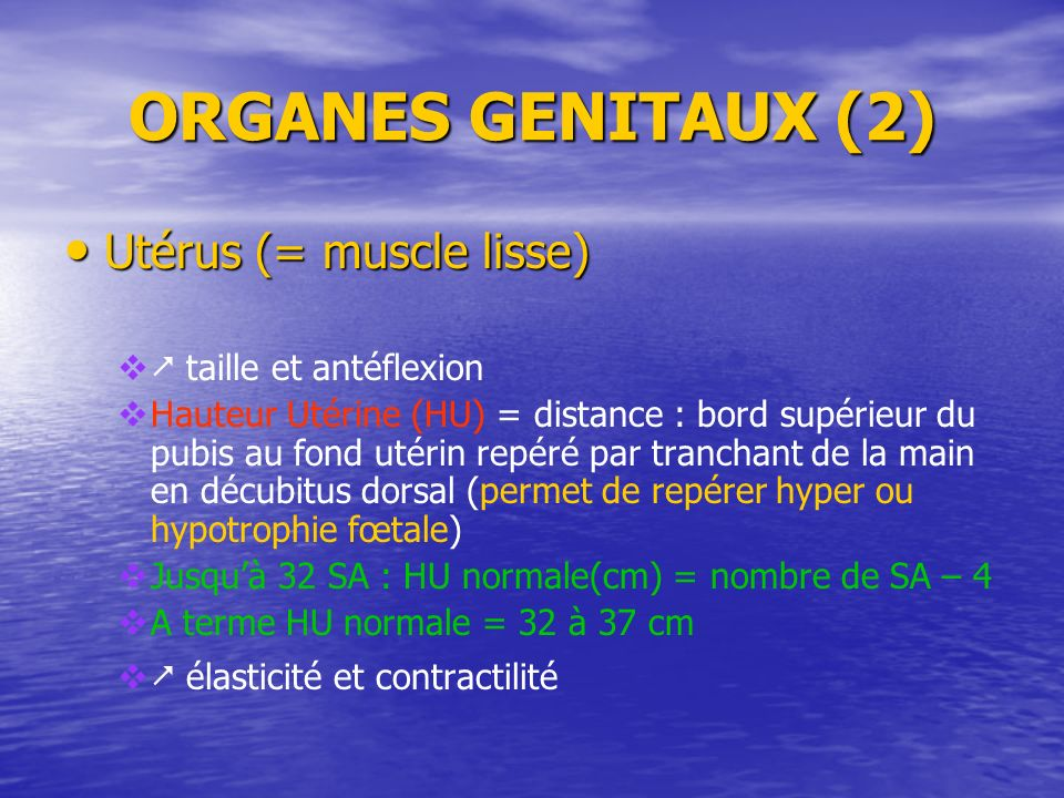 ORGANES GENITAUX (2) Utérus (= muscle lisse)  taille et antéflexion