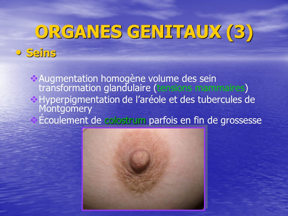 ORGANES GENITAUX (3) Seins