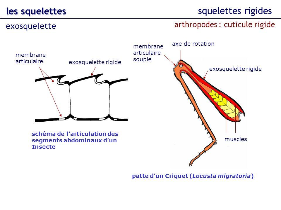 les squelettes squelettes rigides exosquelette