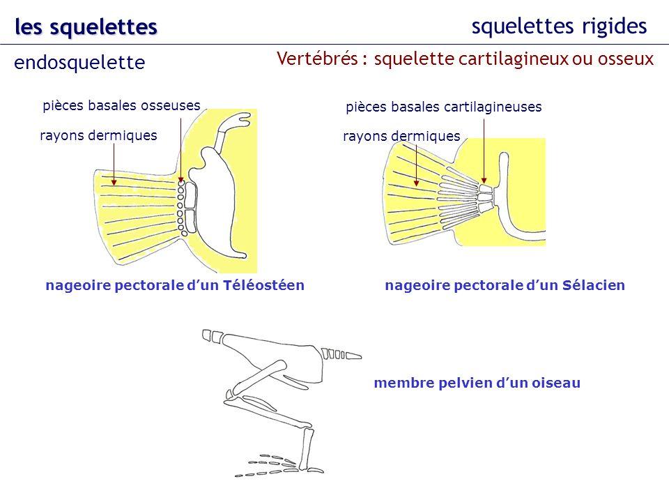 les squelettes squelettes rigides endosquelette