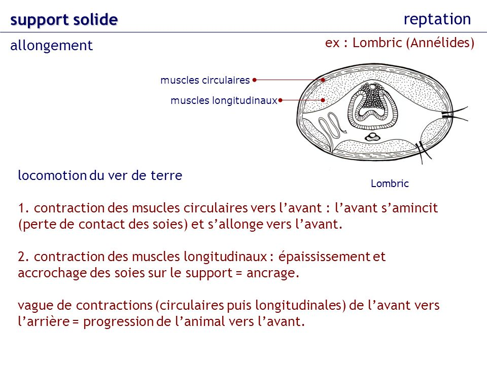 support solide reptation allongement ex : Lombric (Annélides)