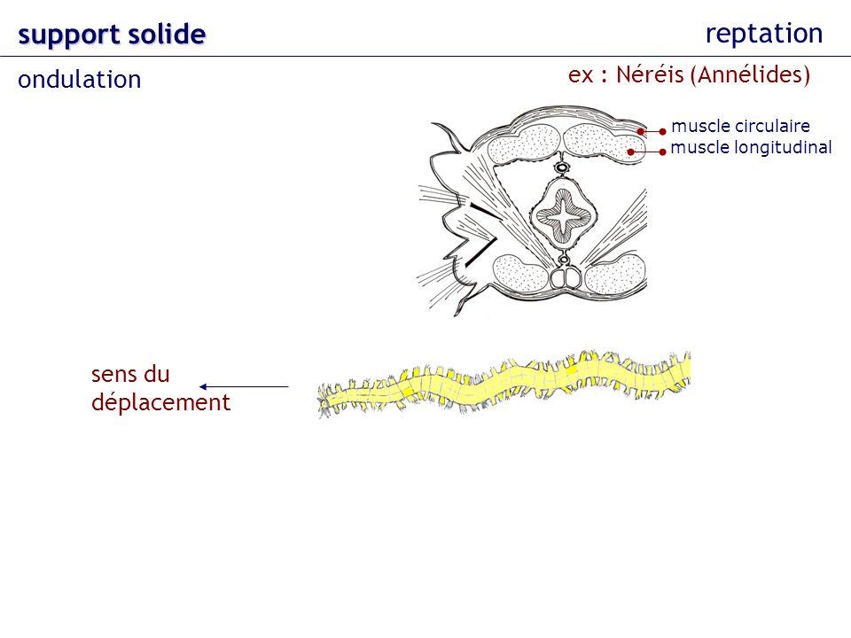 support solide reptation ondulation ex : Néréis (Annélides)
