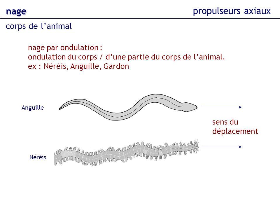 nage propulseurs axiaux corps de l'animal nage par ondulation :