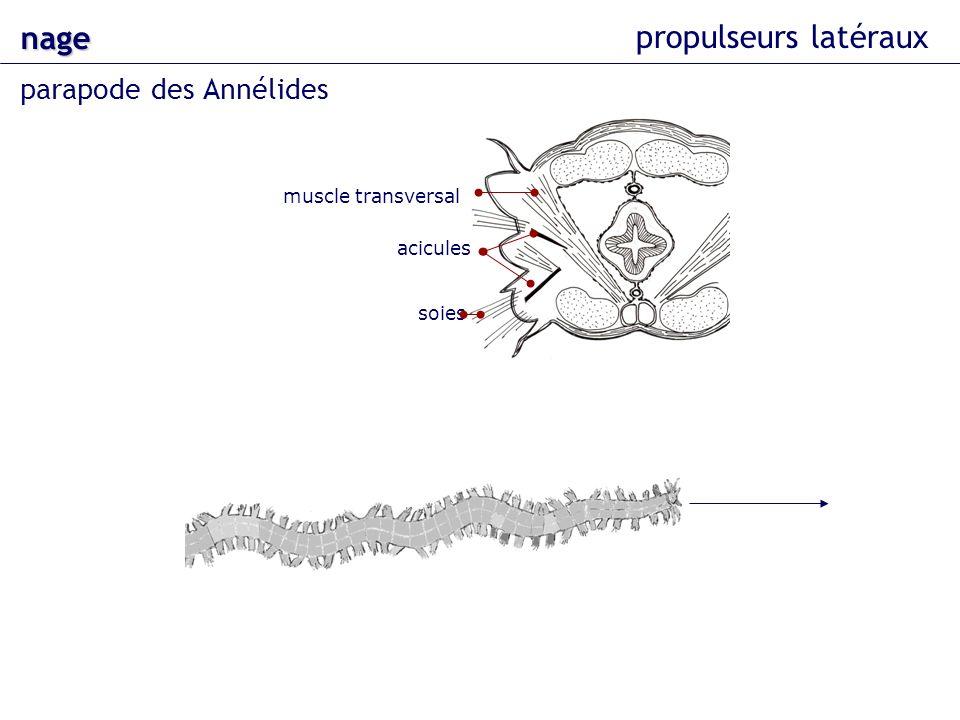 nage propulseurs latéraux parapode des Annélides muscle transversal