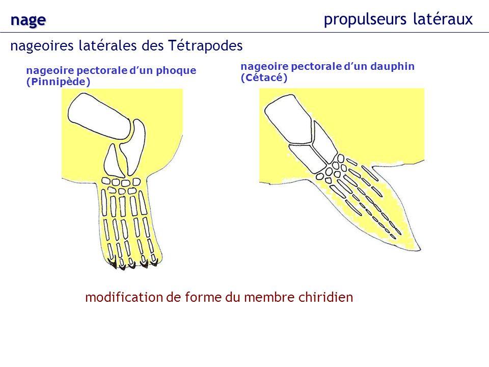 nage propulseurs latéraux nageoires latérales des Tétrapodes