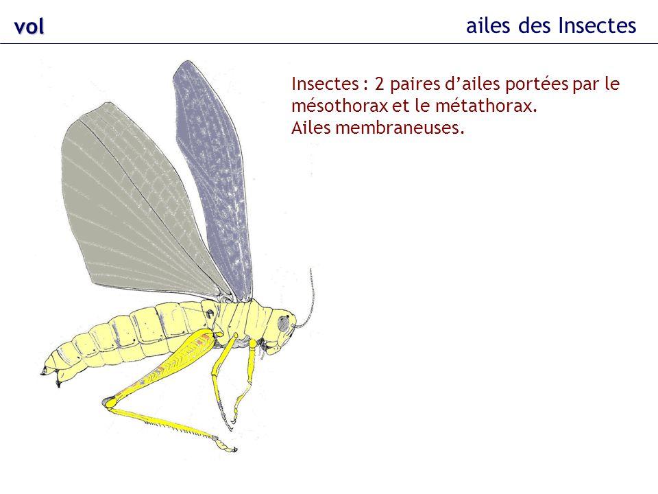 vol ailes des Insectes. Insectes : 2 paires d'ailes portées par le mésothorax et le métathorax.