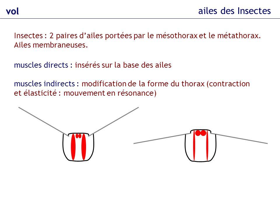 vol ailes des Insectes. Insectes : 2 paires d'ailes portées par le mésothorax et le métathorax. Ailes membraneuses.