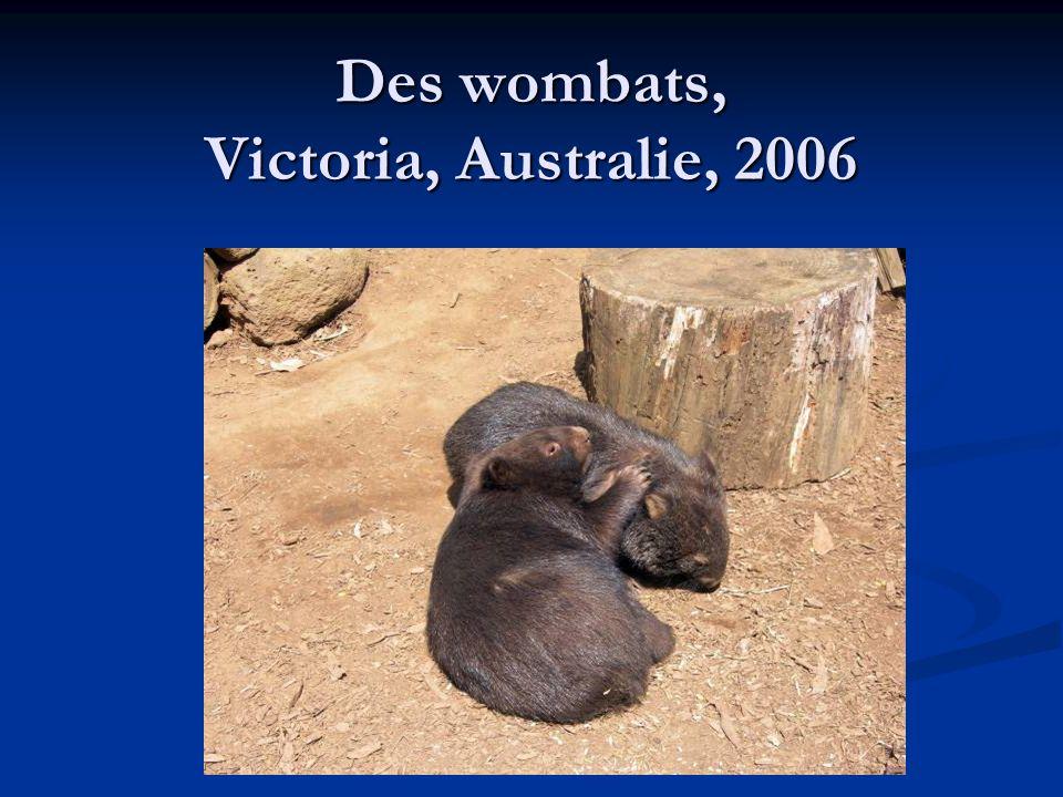 Des wombats, Victoria, Australie, 2006