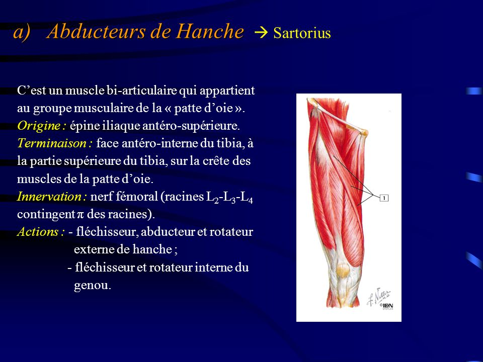 a) Abducteurs de Hanche  Sartorius