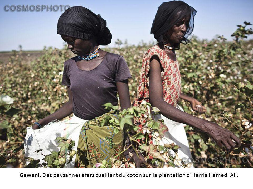 Gawani. Des paysannes afars cueillent du coton sur la plantation d Herrie Hamedi Ali.