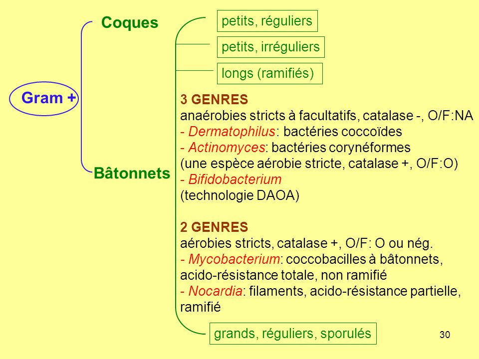 Coques Gram + Bâtonnets petits, réguliers petits, irréguliers