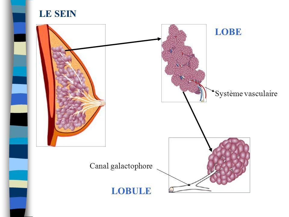 LE SEIN LOBE Système vasculaire Canal galactophore LOBULE