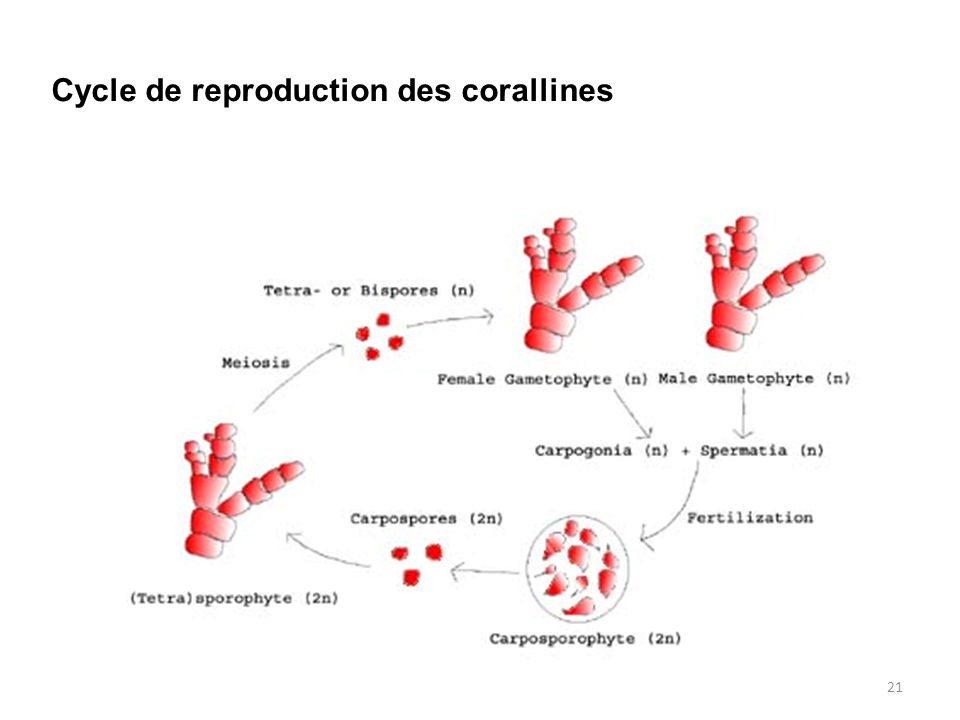 Cycle de reproduction des corallines