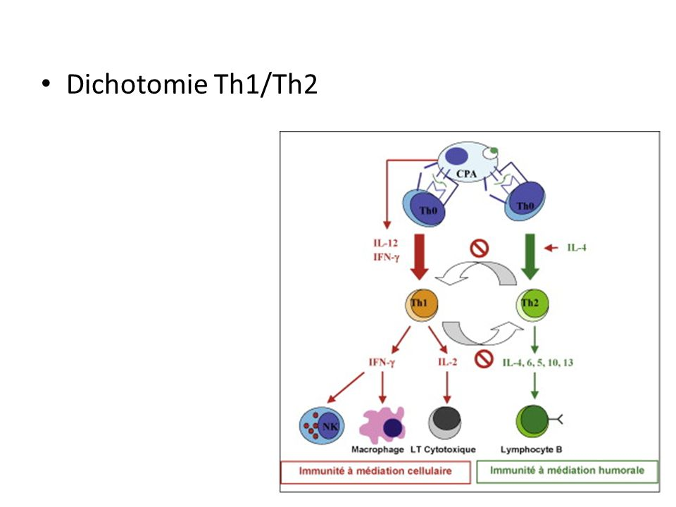Dichotomie Th1/Th2