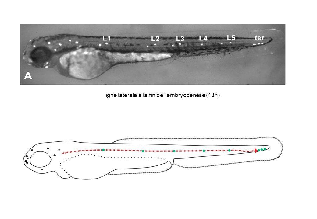 ligne latérale à la fin de l embryogenèse (48h)